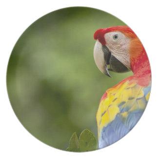 Wild scarlet macaw, rainforest, Costa Rica Plate