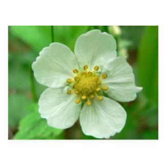 Wild Strawberry Flower Postcard