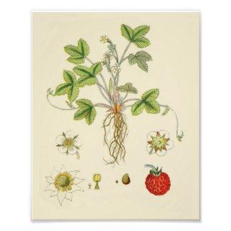 Wild Strawberry Plant Botany Photo Print