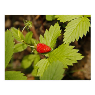 Wild Strawberry Post Cards