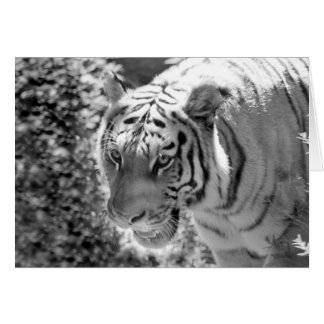 Wild Striped Tiger Black and White Card