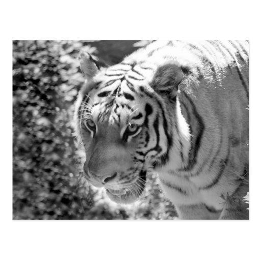 Wild Striped Tiger Black and White Postcard