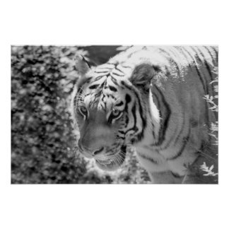 Wild Striped Tiger Black and White Poster
