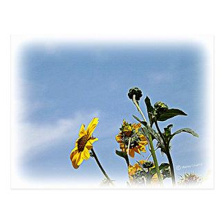 Wild Sunflowers Postcard