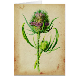 Wild Teasel - Dipsacus sylvestris Card