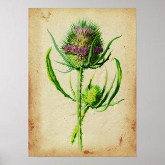 Wild Teasel - Dipsacus sylvestris Poster