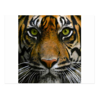 Wild Tiger Eyes Postcard