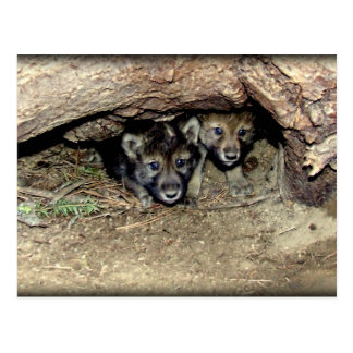 Wild Timber Wolf Twin Cubs in Den Postcard