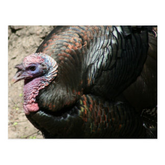 Wild Tom Turkey Greeting Card Postcard