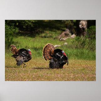 Wild Turkey Gobblers Poster