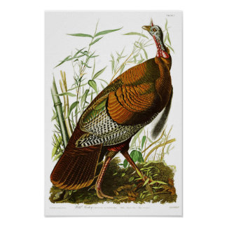 Wild Turkey John James Audubon Birds of America Poster