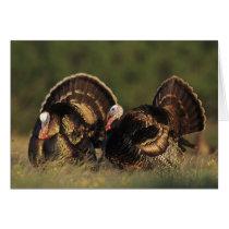 Wild Turkey, Meleagris gallopavo,males