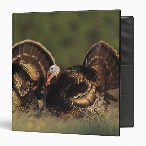 Wild Turkey, Meleagris gallopavo,males Binder
