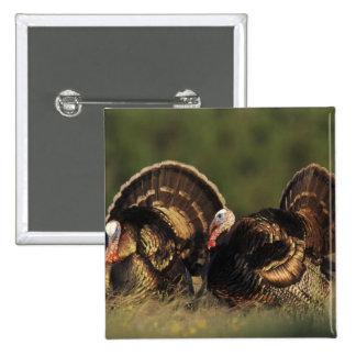 Wild Turkey, Meleagris gallopavo,males Button
