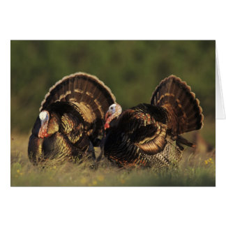 Wild Turkey, Meleagris gallopavo,males Card
