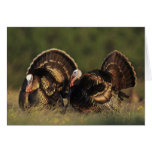 Wild Turkey, Meleagris gallopavo,males Greeting Card