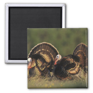 Wild Turkey, Meleagris gallopavo,males Magnet