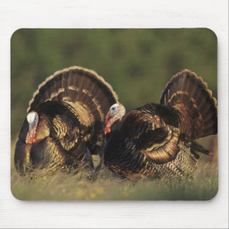 Wild Turkey, Meleagris gallopavo,males Mouse Pad