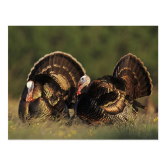 Wild Turkey, Meleagris gallopavo,males Postcard