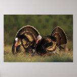 Wild Turkey, Meleagris gallopavo,males Posters