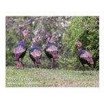 Wild Turkey Post Cards