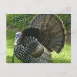 Wild Turkey Postcard