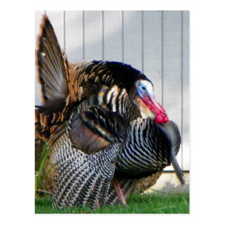 wild turkey post card