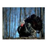 Wild turkey postcards