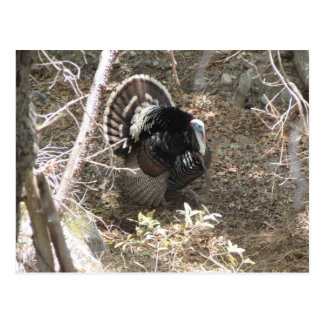 Wild Turkey Strutting for the Ladies Postcard