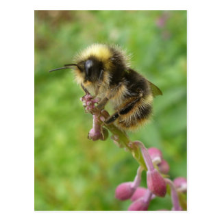 Wild Unalaska Bee in Profile Postcard