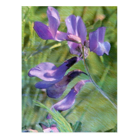 Wild Vetch Mixed Media Drawing Postcard