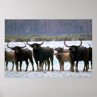 Wild Water Buffalo herd Print