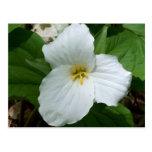 Wild white trillium postcard