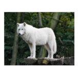 Wild White Wolf Postcard