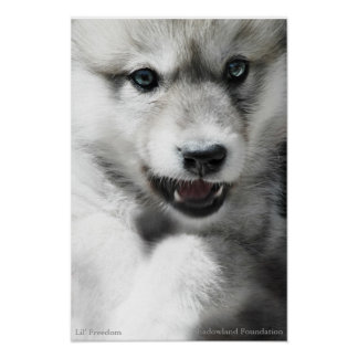 Wild Wolf Cub Poster