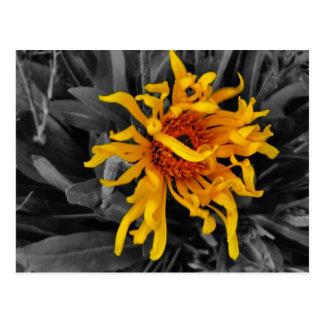 wild yellow cornflowers sepia tone , postcard