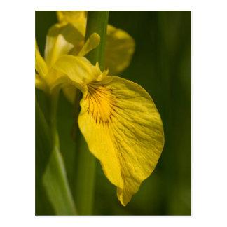 Wild Yellow Iris postcard