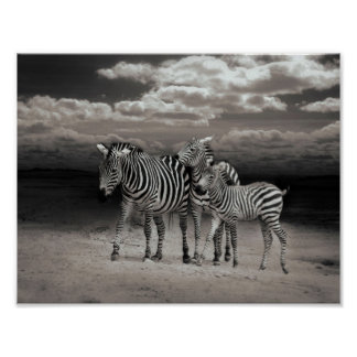 Wild Zebra Socialising in Africa Poster