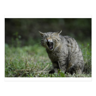 Wildcat Postcard