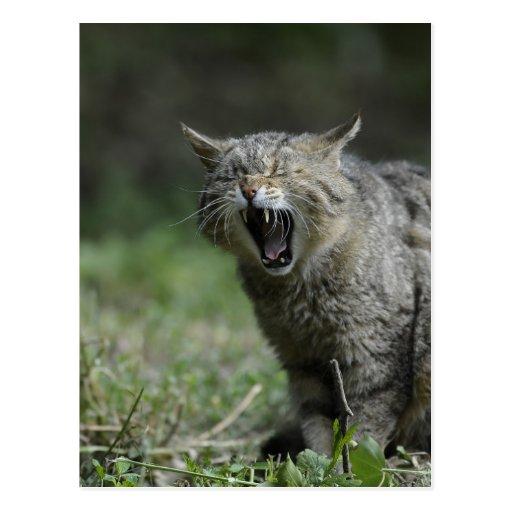 Wildcat Post Card