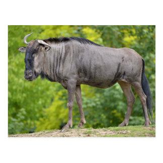 Wildebeest azul postal