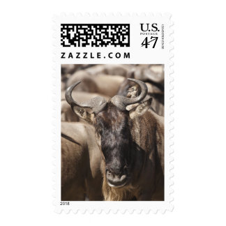 Wildebeest Blanco-barbudo con Wattled Starling Sello