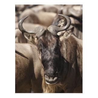 Wildebeest Blanco-barbudo con Wattled Starling Tarjetas Postales