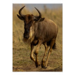 Wildebeest corriente poster
