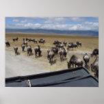 Wildebeest de Ngorongoro Poster