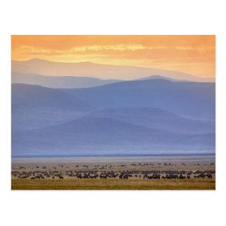 Wildebeest during migration, Connochaetes Postcard