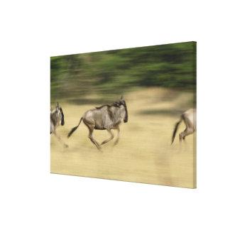 Wildebeest en el movimiento, taurinus del Connocha Impresión En Lienzo Estirada