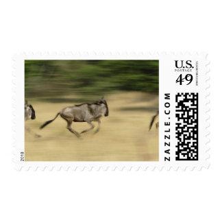 Wildebeest en el movimiento taurinus del Connocha