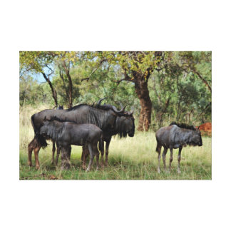 Wildebeest family in South Africa Canvas Print