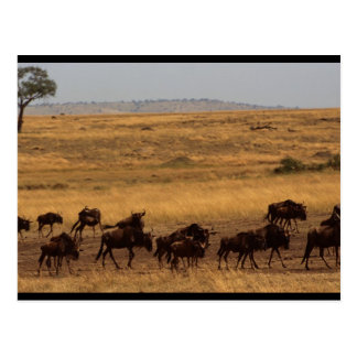 Wildebeest Herd Postcard